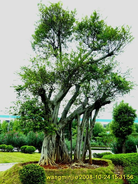 九种,如高山榕,柳叶榕,垂叶榕,金叶垂叶榕,菩提榕,印度橡胶榕,大叶榕