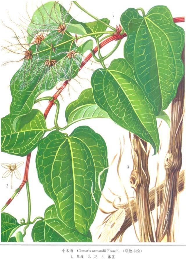 川木瓜图片展示