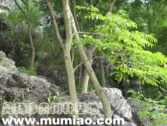 名贵木材树种 图片介绍图片