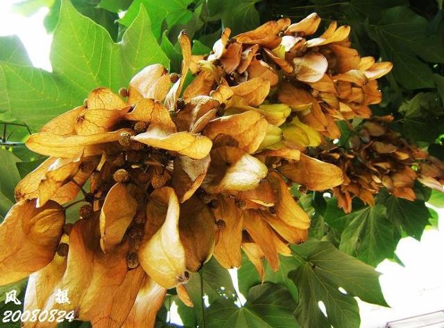 梧桐(Firmiana platanifolia (Linn.f.)Marsili)梧桐属。别名,青桐、桐麻。 落叶大乔木,树干挺直,树皮绿色,平滑。叶心形,3-5掌状分裂,裂片三角形,顶端渐尖,全缘,5出脉,背面有细绒毛;叶柄长8-30厘米。花小,黄绿色;萼片5深裂,裂片被针形,向外反卷曲,外面密生黄色星状毛;花瓣缺;子房球形, 5室,基部有退化雄蕊。蓇葖4-5,纸质,叶状,长6-10厘米,宽1.