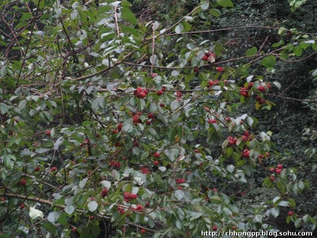 山中的野果树(Ⅰ)