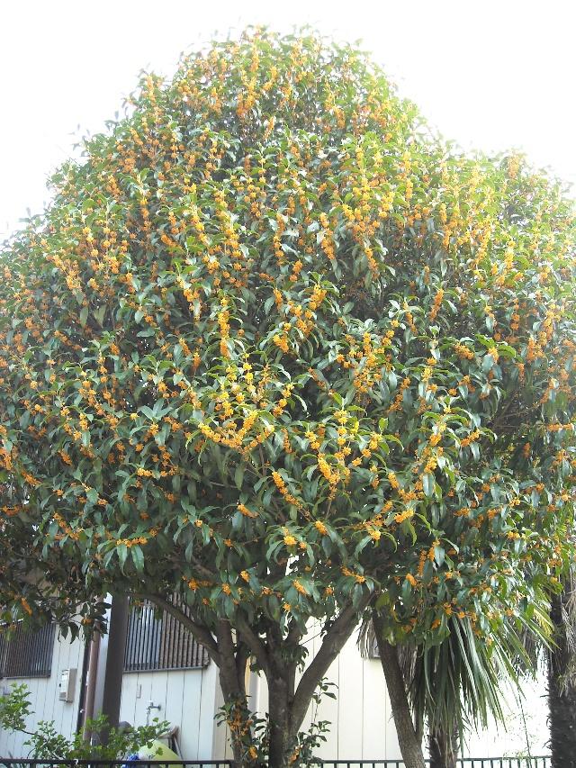 榎本家的桂花树