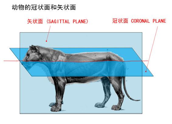 """(图二) 重点为了说明冠(额)状面,考虑到横断面的位置是很容易想象出来的,所以没有画出来,(图二)横断面,动物的三个基本平面:矢状面,横断面,水平面(额面,冠(额)状面)。 方向上是跟人不一样的。 ====== 写在后面: 刘里远副教授在《 挥戈声讨XXXXX 》的博文里讨论""""景深-聚焦平面""""反驳我时提到: """"同一冠状面,对你可能深点,想要通俗确实不容易的--就是同一个聚焦平面--就是指相当于镜头前面并排站着的两个人,其成像效果--清楚或不清楚--必然是一样的,不会是"""