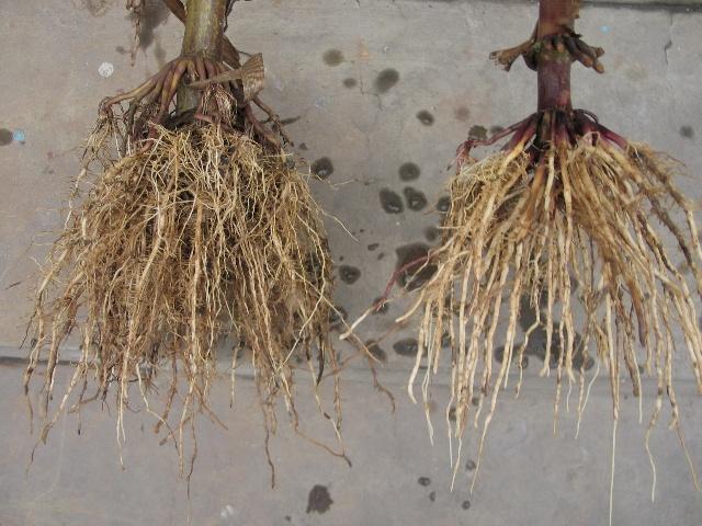 玉米根系结构图