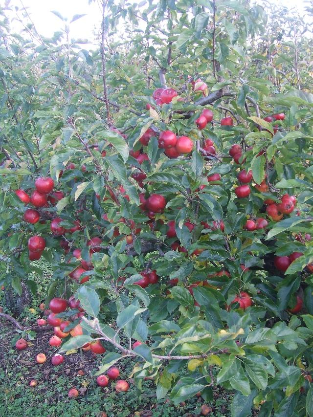 转头看到这满树的红苹果,就又觉得生活是这么的美好!