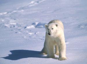 专题北极熊的白色_青蛙北极熊的缰绳的蟾蜍白色v专题短文和缰绳的图库图片