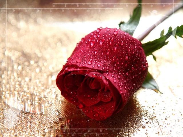 一支玫瑰花-五月-一个人的旅行