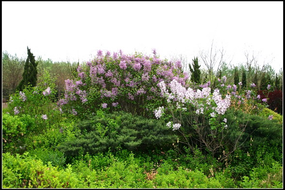 花灌木10-丁香(4.25拍)