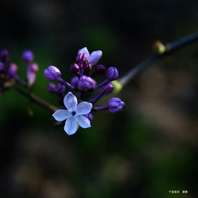 五瓣丁香图片