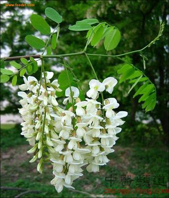 槐树槐树花-定义 槐花为豆科植物落叶乔木槐树的