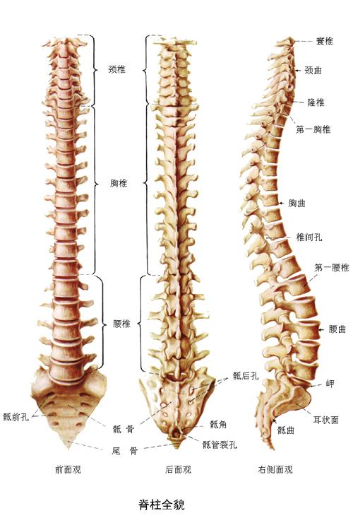 陈大夫告诉您脊柱的解剖 构成 功能